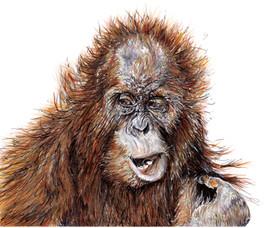 Sumatran Orangutan - Pongo abelii