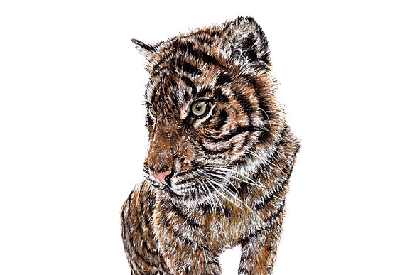 Original Sumatran Tiger Drawing