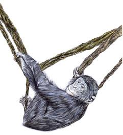 Bonobo - Pan paniscus