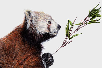 Original Drawings by Wildlife Artist Vanessa Grundy