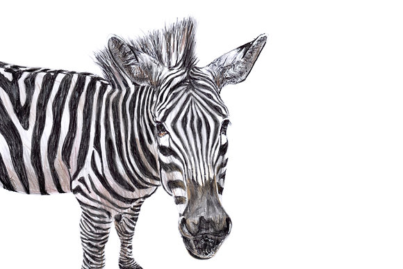 Original Grevy's Zebra Drawing