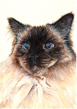 Persian Cat Pet Portrait