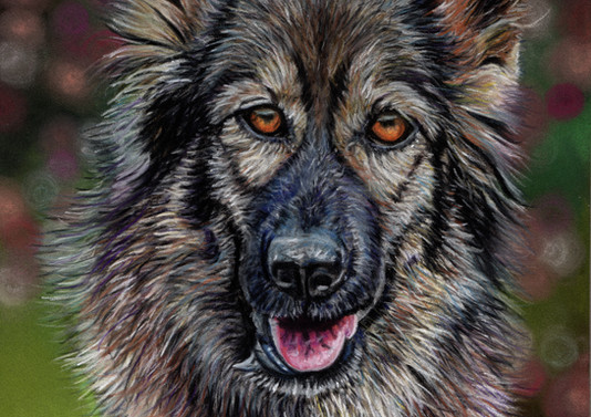 German Shepherd Pet Portrait
