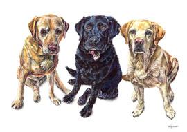 Dog Pet Portrait 3 Labradors