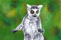 """MAKY""  Ring Tailed Lemur"