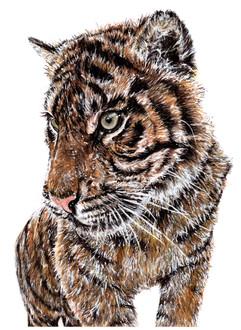 Sumatran Tiger - Panthera tigris sumatrae