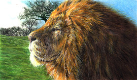 Male African Lion Drawing