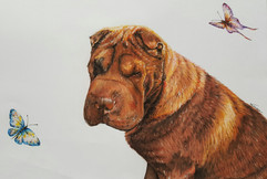 Shar-pei Dog Pet Portrait