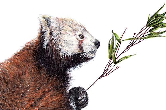 Original Red Panda Drawing