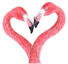 Flamingo - Phoenicopterus ruber