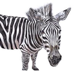 Grevy's Zebra - Equus grevyi