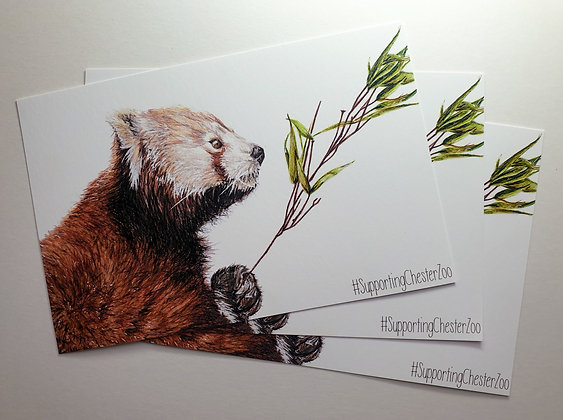 100% PROFIT TO CHESTER ZOO Print of Chester Zoo's Red Panda