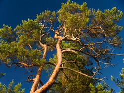 PINE TREE 0005