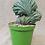 Thumbnail: Myrtillocactus geometrizans Crestado