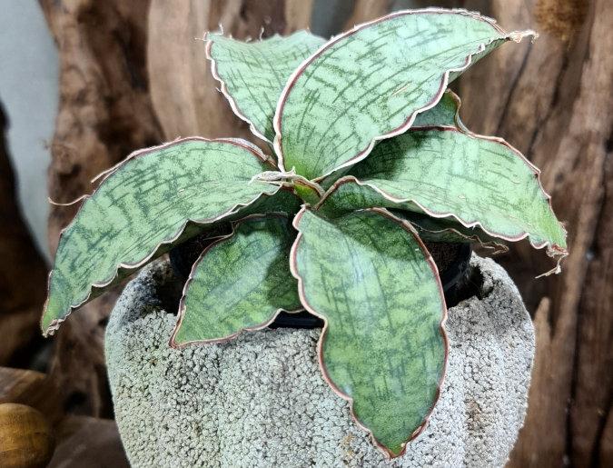 Draceana (ent. Sansivieria) 'Star Green Granite'