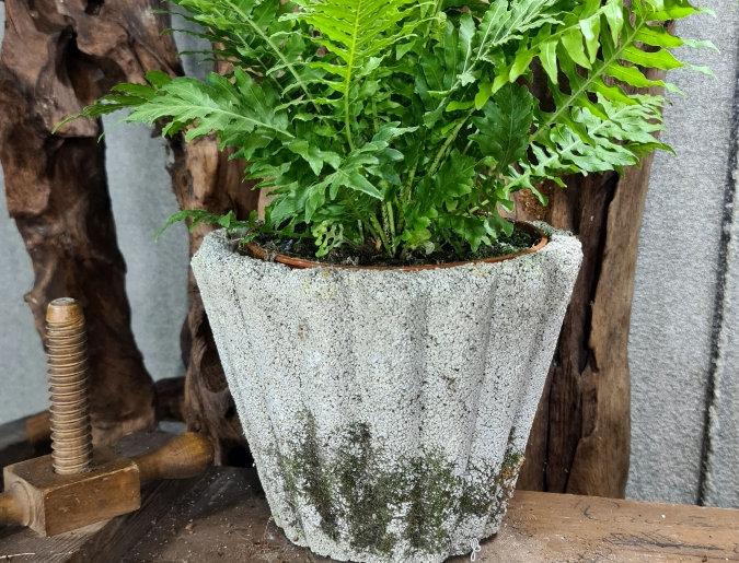 Blechnum gibbum 'Silver Lady'