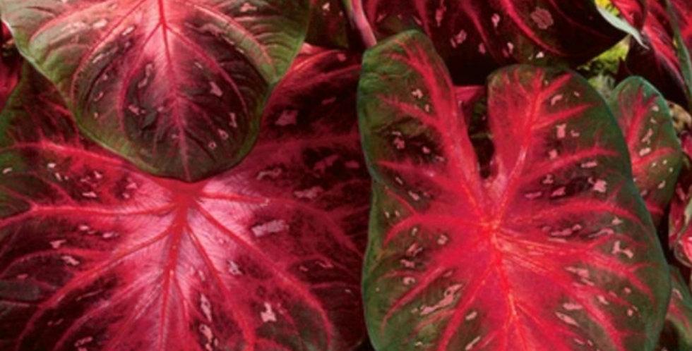 Caladium Red Flash