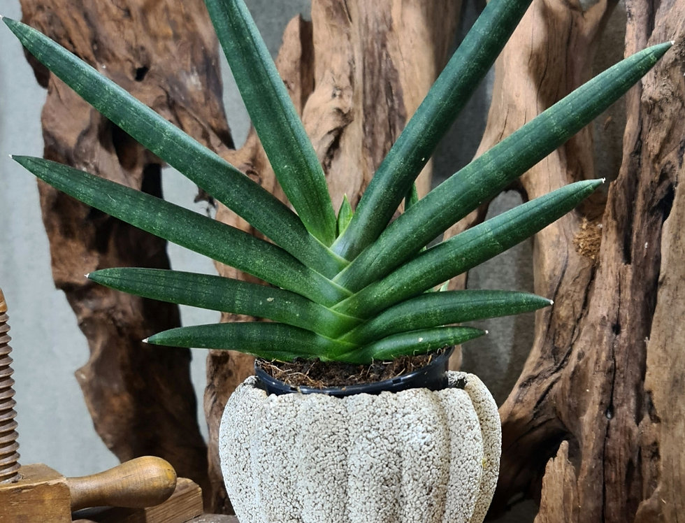 Draceana (ent. Sansivieria) sylindrica 'Tiara Emerald'