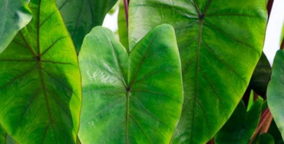 Colocasia Hawaiian Punch