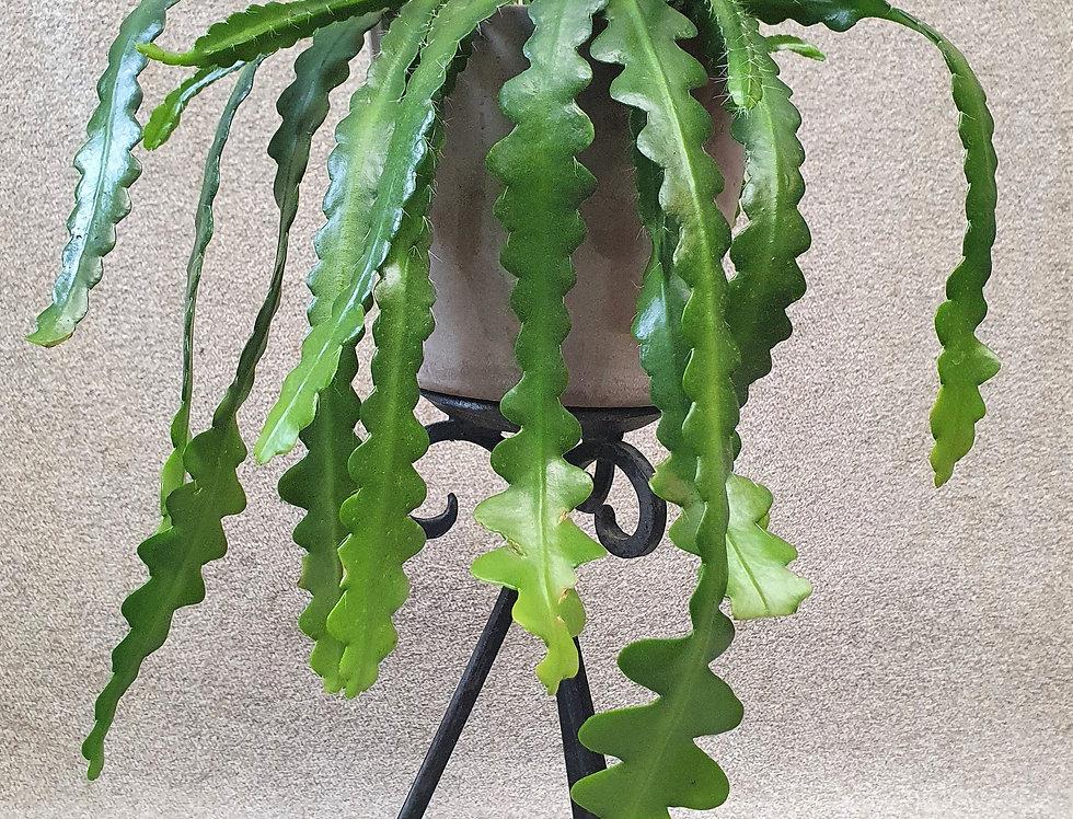 Epiphyllum anguliger〡 KALANRUOTOKAKTUS