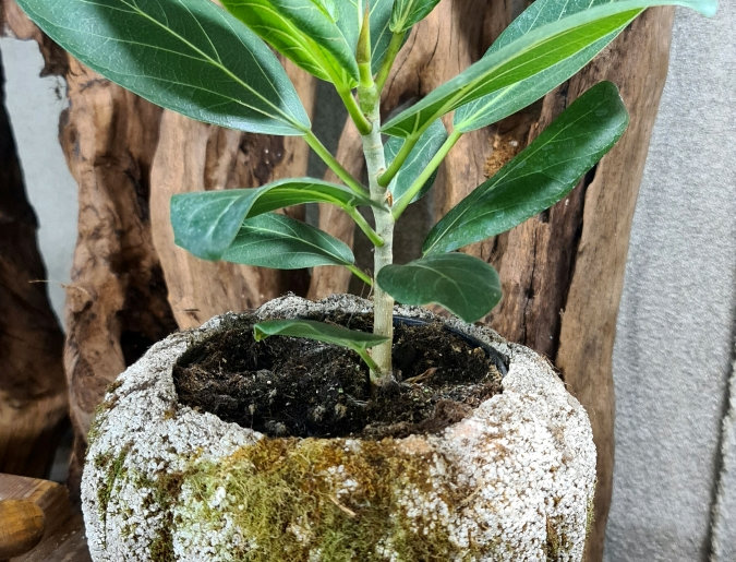 Ficus benghalensis 'Audrey'