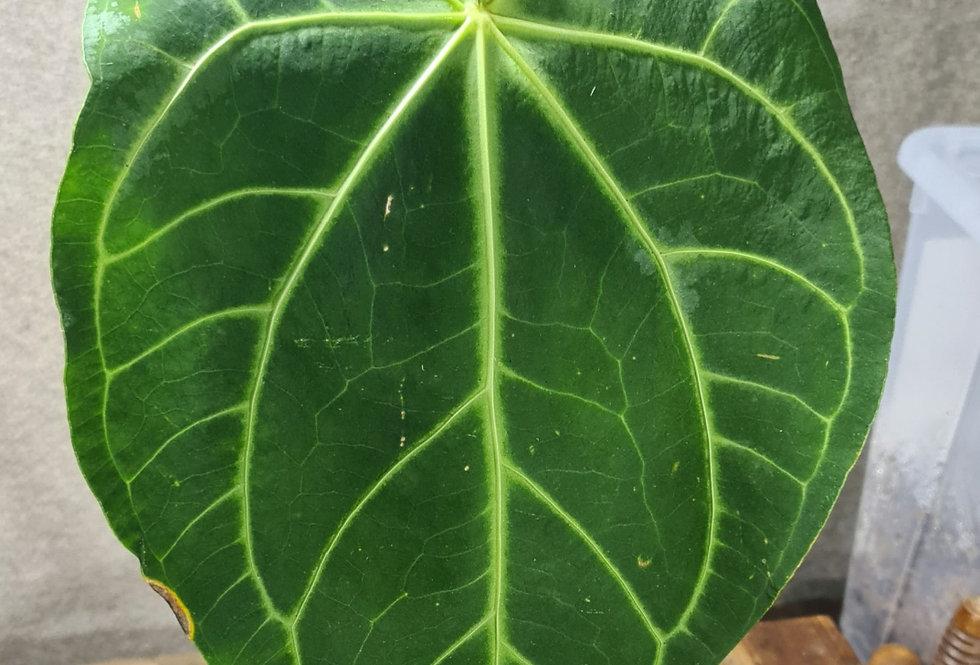 Anthurium magnificum