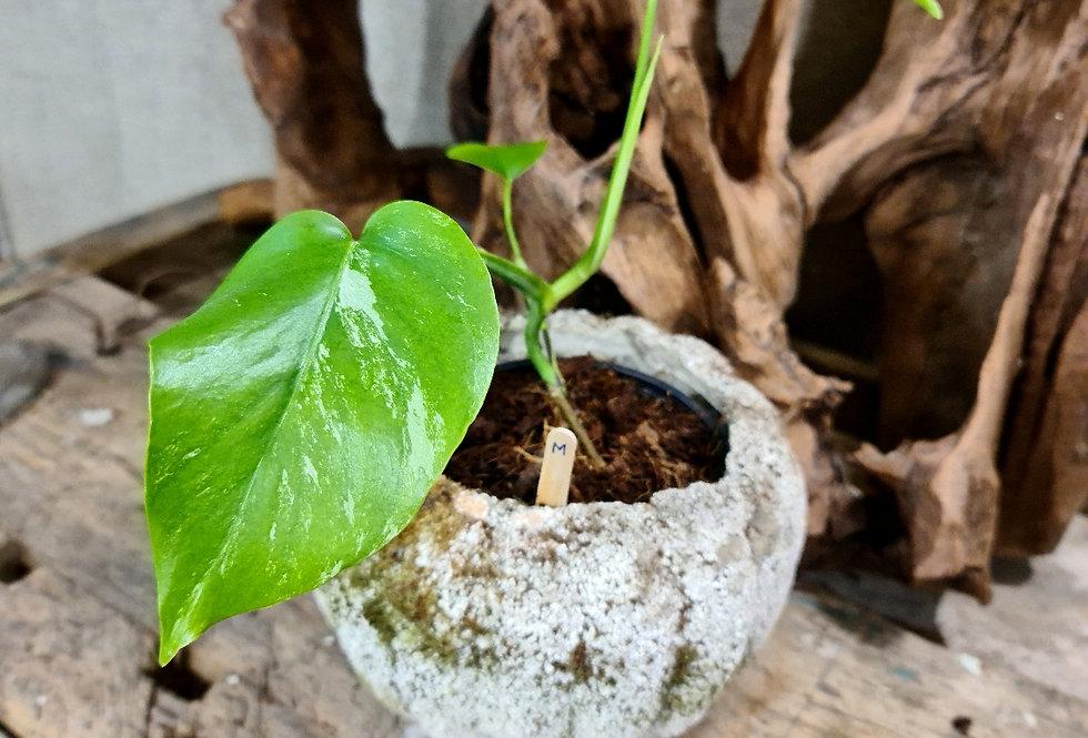 Monstera deliciosa variegata (M)