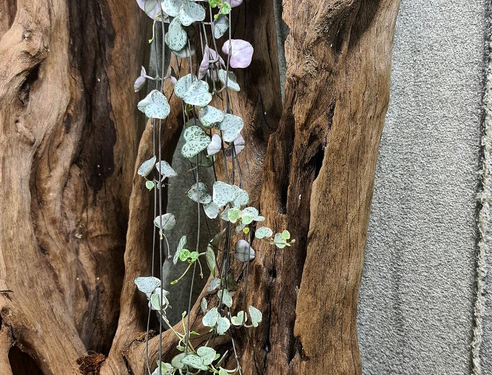 Ceropegia woodii 'variegata'