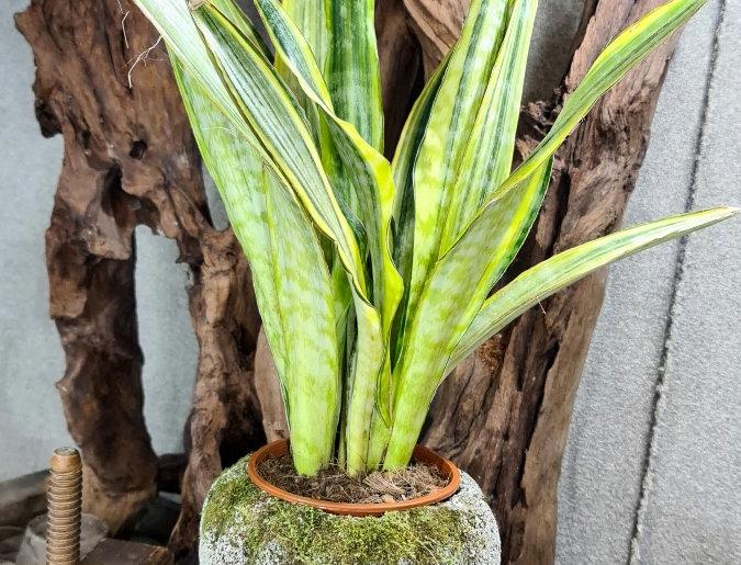 Draceana (ent. Sansivieria) guineensis Variegata