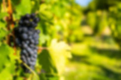 Detail view of vineyard with ripe grapes