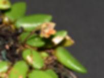 Dendrobium-prenticei.jpg