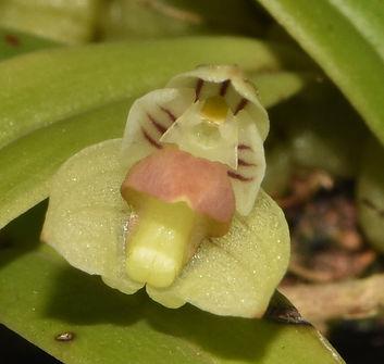 Bulbophyllum-lageniforme1.jpg