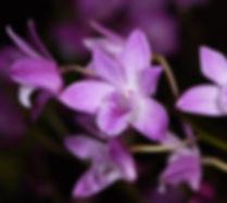 Dendrobium Esme Pulton 'Tinonee'.jpg