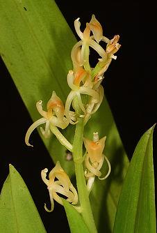 Liparis nugentiae.jpg
