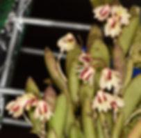 Dockrillia rigida1.jpg