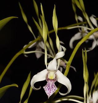 Dendrobium-Samurai.jpg