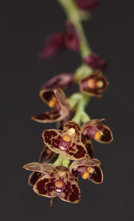 Bulb. bracteatum.jpg