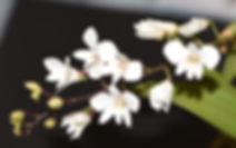 Dendrobium-affine.jpg