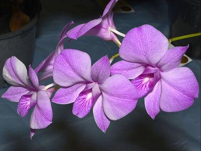 Dendrobium bigibbum.jpg