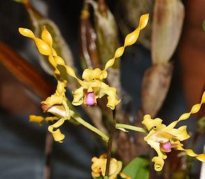 Dendrobium-Egret-Gold.jpg