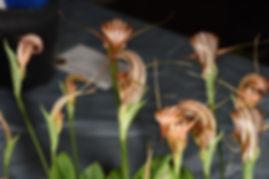 Pterostylis tenuicauda.jpg
