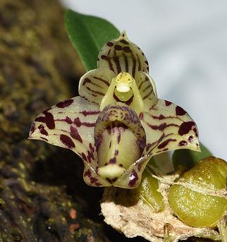 Bulbophyllum weinthalii ssp striatum.jpg