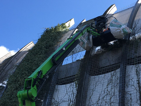 Pruning the green wall at the Oval