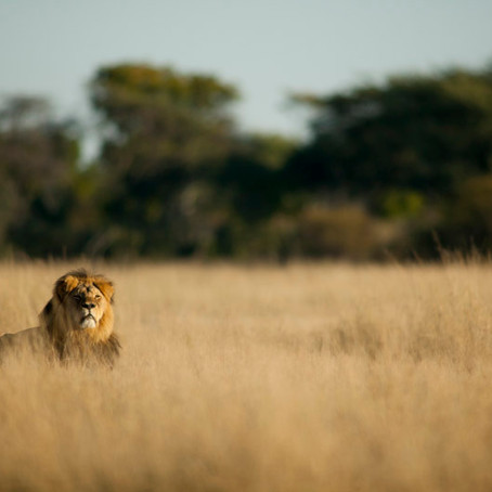 What Cecil the Lion Means to Dentists