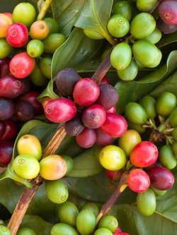 coffee_fruit-pint