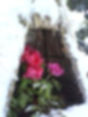 冬牡丹2.jpg
