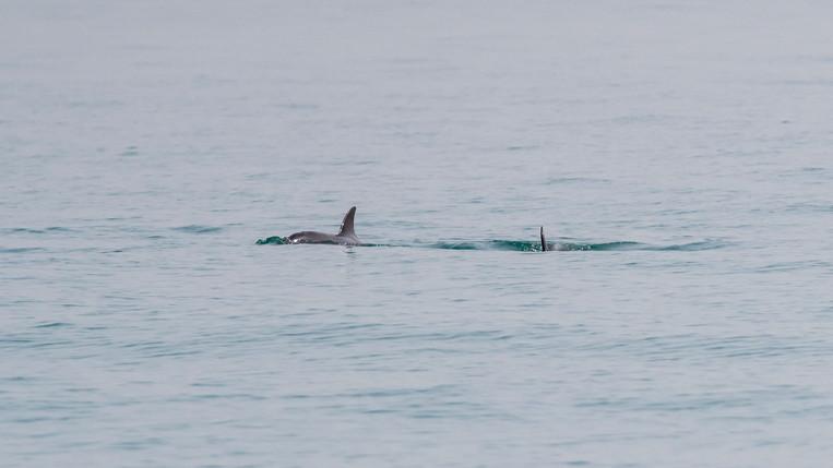 Bottlenose dolphins - Zour