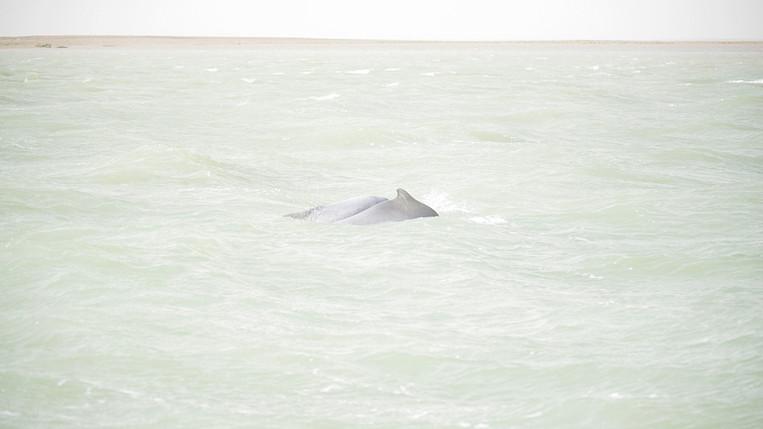 Pacific Humpback Dolphin