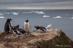 Gentoo Penguin Nests with a View