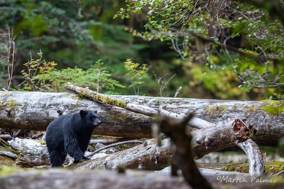 Black Bear Walking along a Log Jam